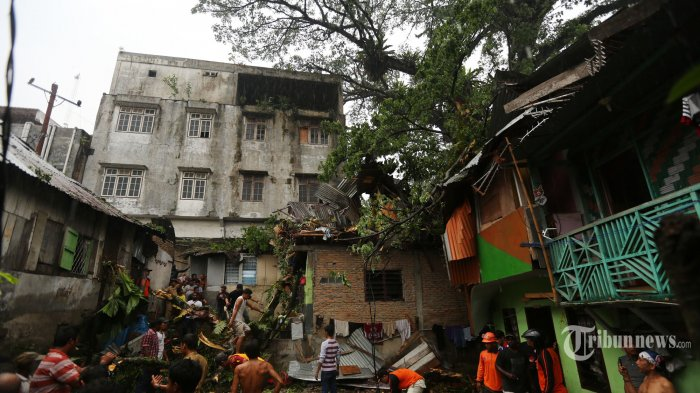 Pohon Waru yang Rubuh di Medan Maimun Sudah Berusia Ratusan Tahun