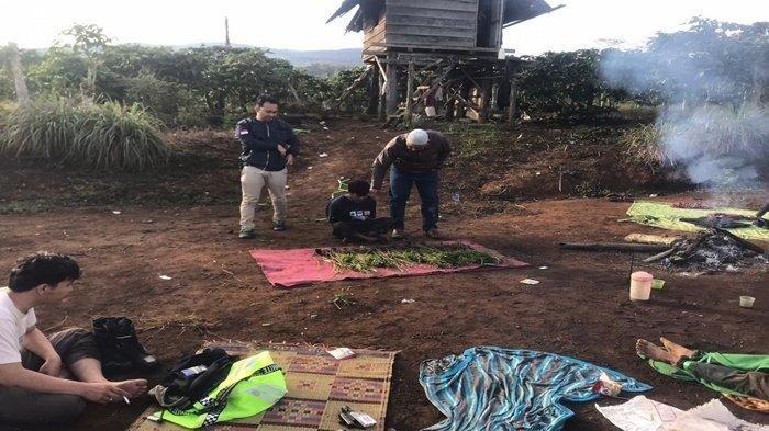 Ladang Ganja Seluas 3 Hektare Ditemukan di Pagaralam, Ditanam di Hutan Lindung