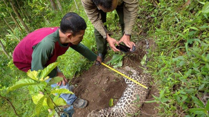 Satwa Dilindungi Macan Tutul Ditemukan Tewas di Kebun Warga, BKSDA: Kondisi Anus Berdarah