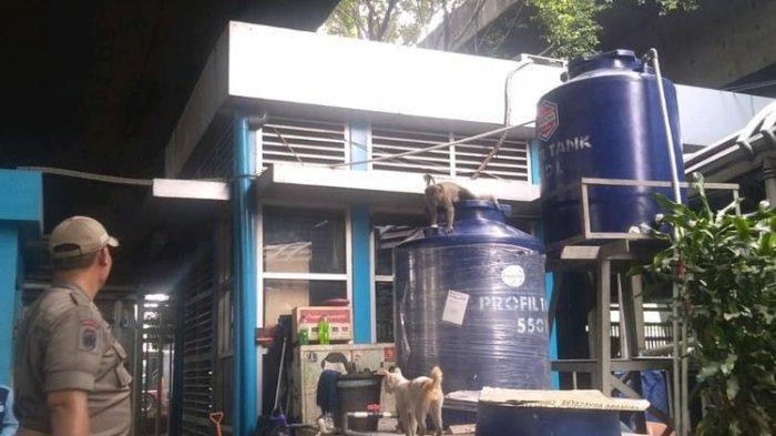 Waspada Monyet Liar di Kawasan Halte Transjakarta Grogol, Belum Tertangkap