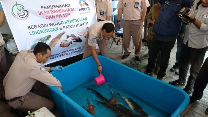 Yatimin Merelakan Ikan Alligator yang Dipeliharanya Selama Belasan Tahun Akhirnya Dimusnahkan