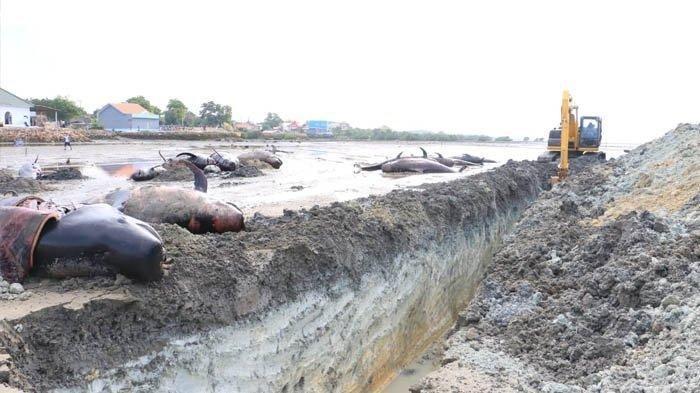 Penyebab Terdamparnya 52 Paus Pilot di Bangkalan Terungkap, Mabuk karena Makan Plankton Beracun