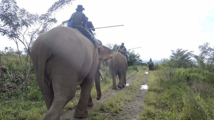 Puluhan Gajah Liar Mulai Menjauh dari Perkampungan Warga Setelah Dihalau 3 Ekor Gajah Jinak