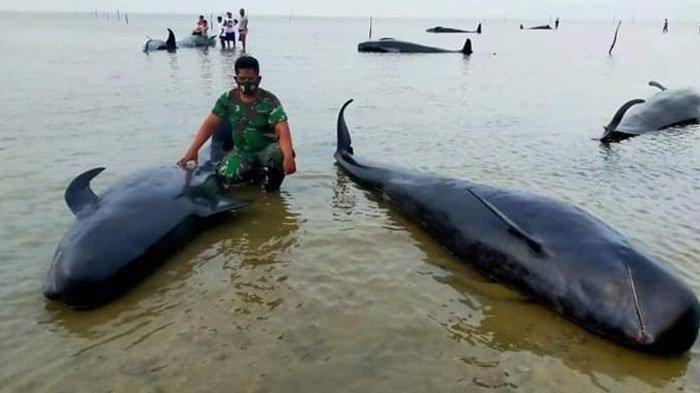 Puluhan ikan paus yang mati terdampar di pesisir pantai Desa Pangpajung, Kecamatan Modung, Kabupaten Bangkalan, Madura, Jumat (19/2/2021).