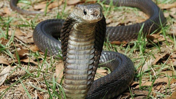 'Teror' Ular Kobra di Citayam Bogor, Warga Temukan Puluhan Ekor