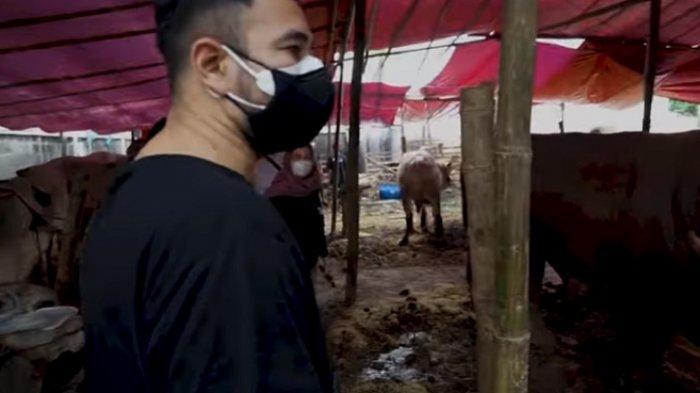 Raffi Ahmad mengecek sapi dan kambing kurban yang dipesannya.