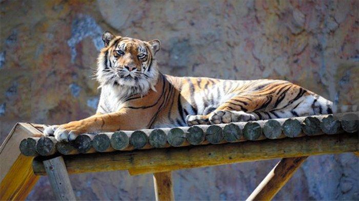 Warga Pringsewu Ketir-ketir, Ada Harimau Tinggi 1 Meter Pantengin Kandang Kambing
