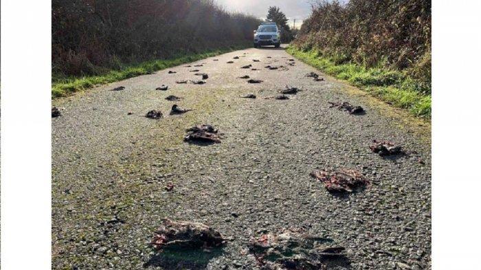 Ratusan Burung Mati Misterius Diduga setelah Makan Sesuatu, Berserakan di Jalan dan Berlumuran Darah