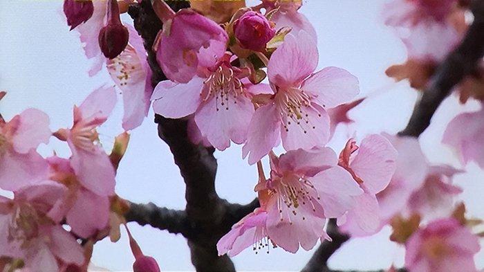 Saatnya Melihat Bunga Kawazu Sakura di Jepang