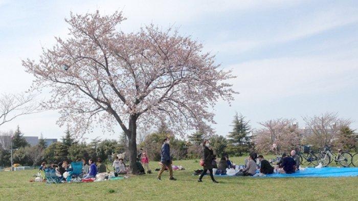 Para warga Jepang, keluarga dan teman ber Hanami di bawah pohon Sakura minggu ini