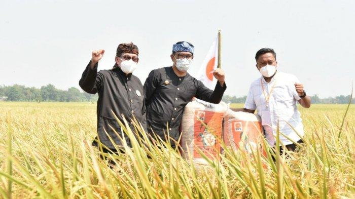 Salim Segaf dan Ridwan Kamil Borong Gabah dari Petani Muda