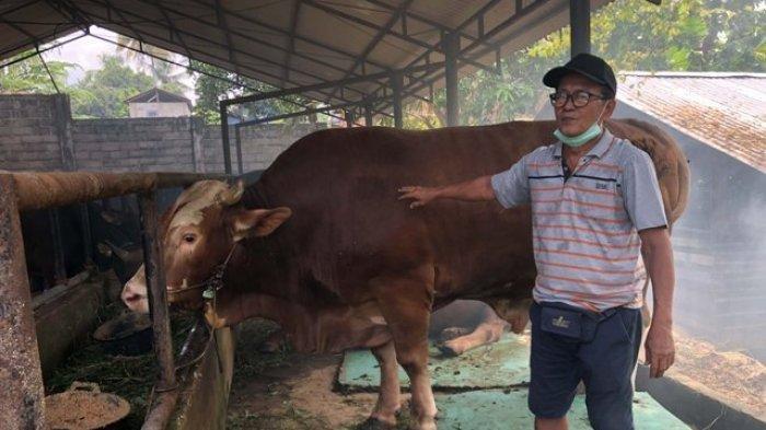 Penampakan Sapi Kurban Presiden Jokowi untuk Jambi, Berat 885 Kilogram, Berjenis Simental