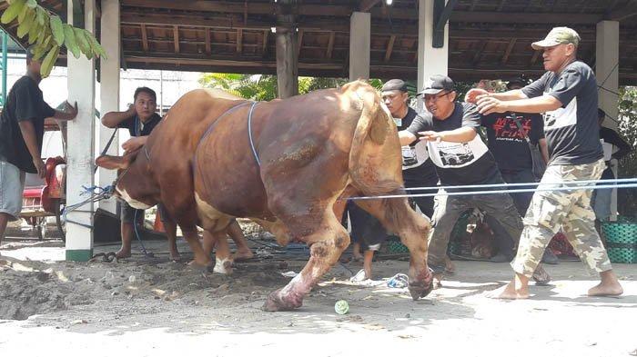 Foto Detik-detik Sapi Kurban Hampir 1 Ton Milik Presiden Jokowi 'Ngambek' Saat Akan Disembelih