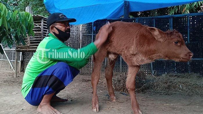 Kedekatan Suwarno dengan Juned, Anak Sapi berkaki 3 di Dukuh Krisan, Desa Tangkil, Kecamatan/Kabupaten Sragen.