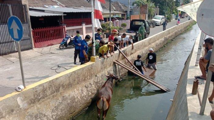 Seekor Sapi Mengamuk Hingga Nyemplung ke Sungai di Perumahan Kawasan Depok