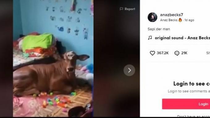 Sapi Viral Hobi Rebahan di Kasur Suka Bertingkah Lucu, Pemilik Ungkap Ingin Buatkan Kanal YouTube