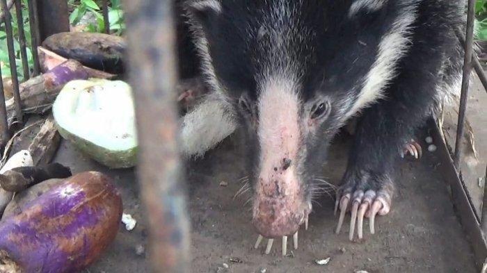 Mengenal Sigung Sumatera, Hewan Langka yang Mengeluarkan Bau Busuk dan Berbadan Seperti Beruang