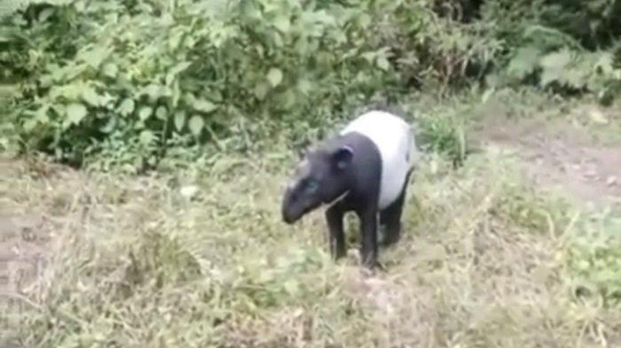 Viral Seekor Tapir Ditemukan di Pinggir Jalan Lintas Pesisir Selatan-Jambi, Tak Takut Didekati Orang