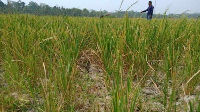 Puncak Kemarau di Lampung Diprediksi Hingga Akhir September 2019