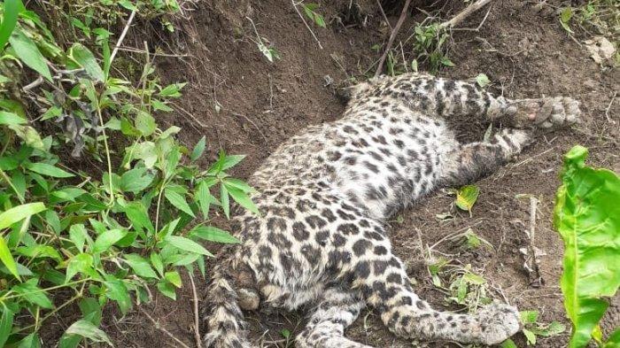 Bangkai Seekor Macan Tutul Ditemukan di Hutan Gunung Muria Pati