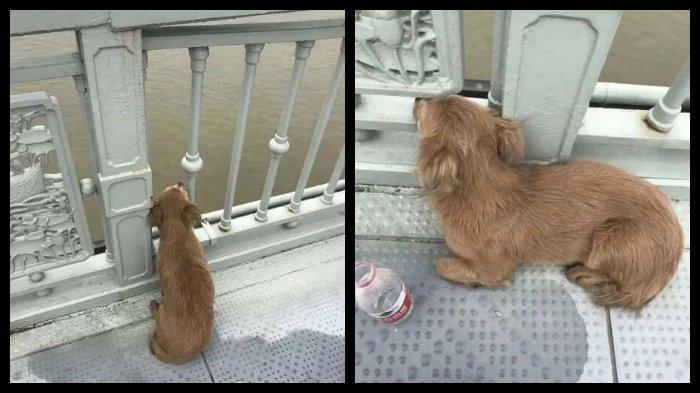 Seekor Anjing Menunggu di Jembatan Tepat di Mana Pemiliknya Bunuh Diri, Tak Mau Makan dan Minum