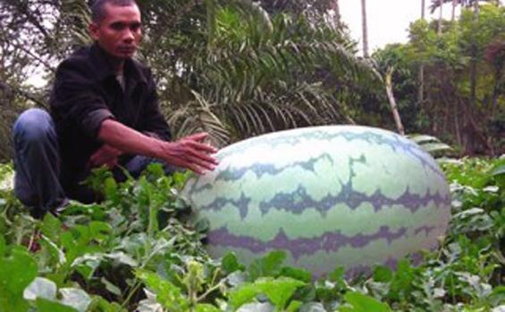 DARWIS memperlihatkan buah semangka seberat 104,5 kilogram miliknya di Desa Baroh Kuta Bate, Kecamatan Meurah Mulia, Aceh Utara, Sabtu (25/8) sore