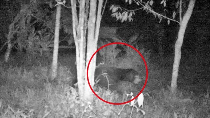 Beruang Masuk Permukiman Penduduk di Lampung Barat, 15 Ekor Kambing Milik Warga Dimangsa