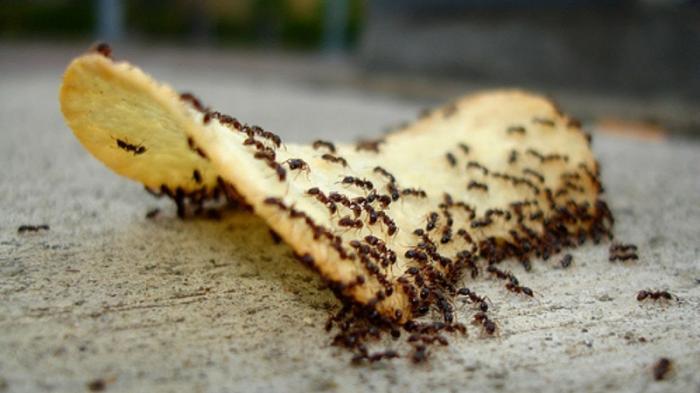 Cara Mengusir Semut dengan Mudah, Bisa Gunakan Bahan Dapur Ini