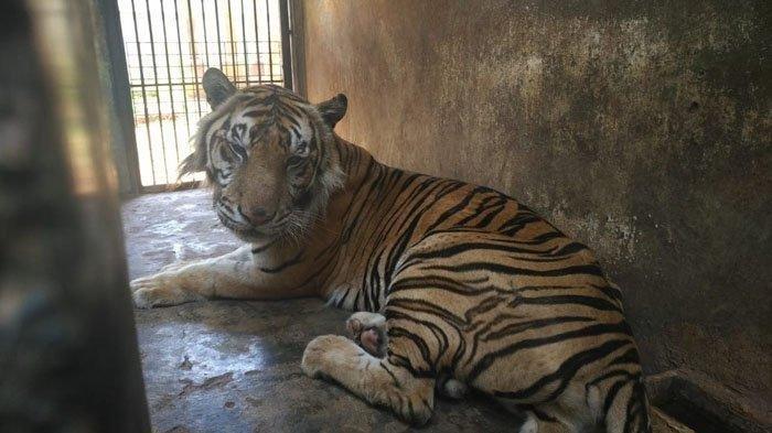 Fakta Harimau Kurus di Maharani Zoo dan Goa Lamongan: Berusia 14 Tahun, Makan 5-8 Kg Daging Sehari