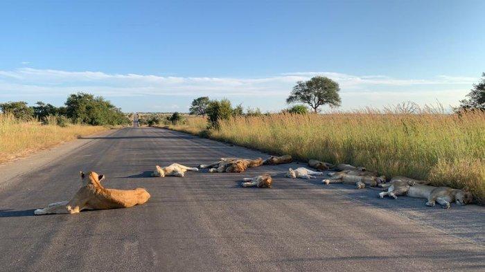 Sejumlah singa terlihat bersantai rebahan di jalanan Taman Nasional Kruger. Hal ini terjadi akibat dampak Afrika Selatan lockdown.