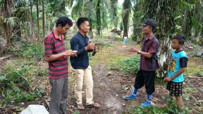 Memangsa Kambing, Harimau Sumatera Sudah Masuk Permukiman Warga di Toba