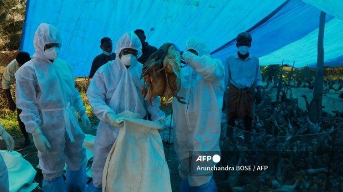 Petugas kesehatan dengan pakaian pelindung memilah bebek setelah strain flu burung H5N8 terdeteksi, di Karuvatta distrik Alapuzha sekitar 90 Km dari Kochi, India pada 6 Januari 2021.