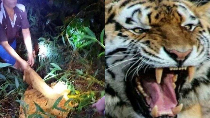 Sulistiawati (31), warga Muaraenim korban tewas dimangsa oleh Harimau Sumatera