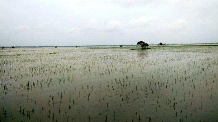 Ratusan Hektar Sawah di Lampung Tergenang akibat Meluapnya Sungai WaySekampung dan Way Pisang