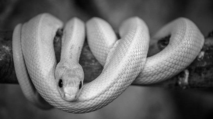 Nomer togel mimpinya di lilit ular
