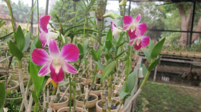 Taman Sri Soedewi Menyimpan Puluhan Anggrek Indah Nan Langka Lokasinya Di Pusat Kota Jambi Halaman All Tribunnews Com Mobile