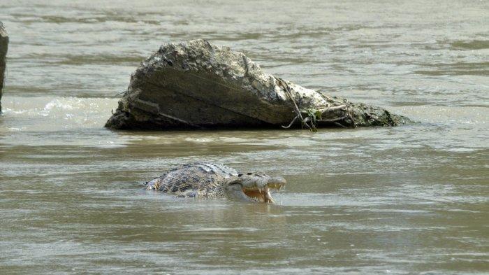Detik-detik Ibu Rumah Tangga Diterkam Buaya Saat Mencuci Baju di Sungai Barakkang Mamuju