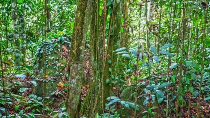 Tanaman bajakah yang tumbuh di pedalaman hutan Kalimantan Tengah.