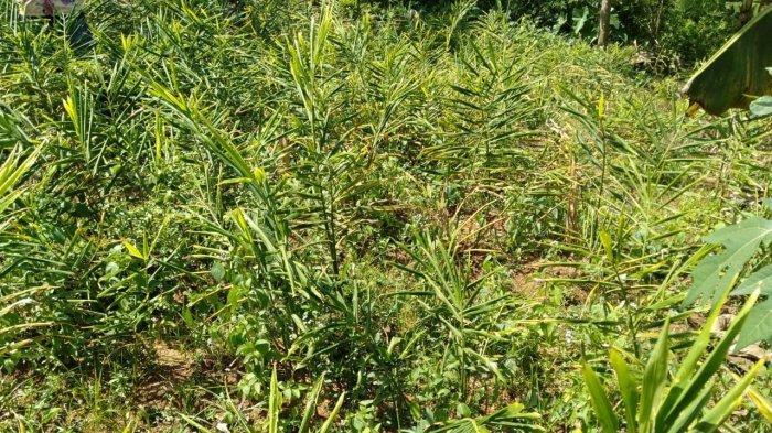 Punya Potensi Tumbuhan Herbal, Kabupaten Humbahas Bakal Jadi Kawasan Riset Tanaman Obat