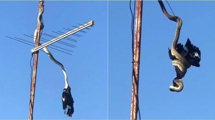 Video Viral Aksi Ular Bergelantungan di Antena TV Sembari Menggigit dan Melilit Burung