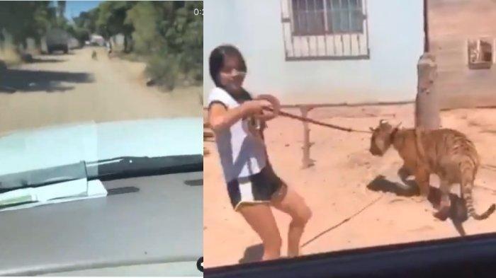Viral di Medsos, Seorang Gadis Jalan-jalan dengan Anak Harimau Layaknya Hewan Peliharaan