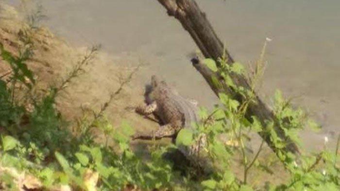 Buaya Menampakkan Diri di Sungai Bengawan Solo Lamongan