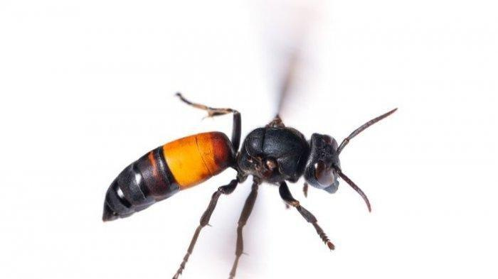 tawon-ndas-atau-vespa-affinis-atau-hornetjpg.jpg