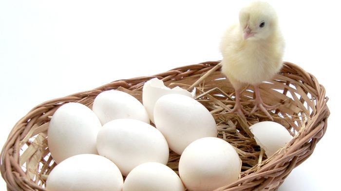 Gawat, 90 Persen Telur Ayam Kampung di Pasar Ternyata Palsu