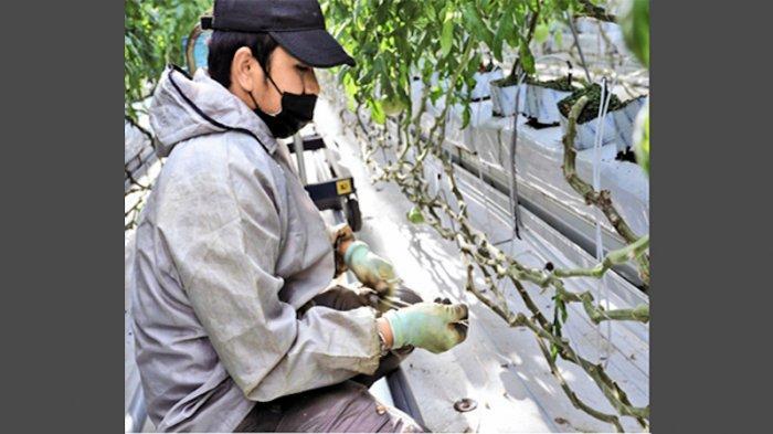 Tenaga pemagang Indonesia yang memperoleh visa Tokutei Ginou (TG atau SSW), Ardi sedang mengerjakan perkebunan Tomat di Fukushima.