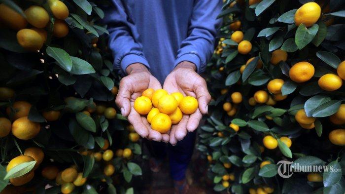 Pekerja sedang merawat pohon jeruk kimkit di Meruya, Jakarta Barat, Senin (25/1/2021). Jeruk yang identik dengan tahun baru Imlek tersebut saat ini menurun permintaannya hingga 15 persen karena terdampak pandemi Covid-19.