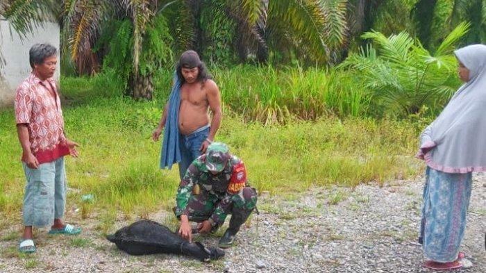 KambingWarga Aceh Singkil Kembali Diterkam Harimau, Serang Bagian Leher