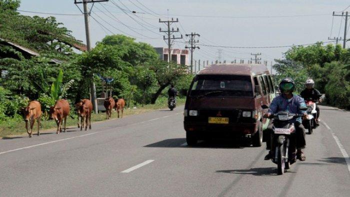 Kawanan ternak jenis sapi berkeliaran di ruas jalan Banda Aceh Medan