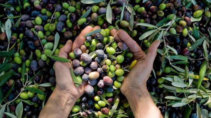 Rasakan manfaat buah zaitun untuk antioksidan di usia emas