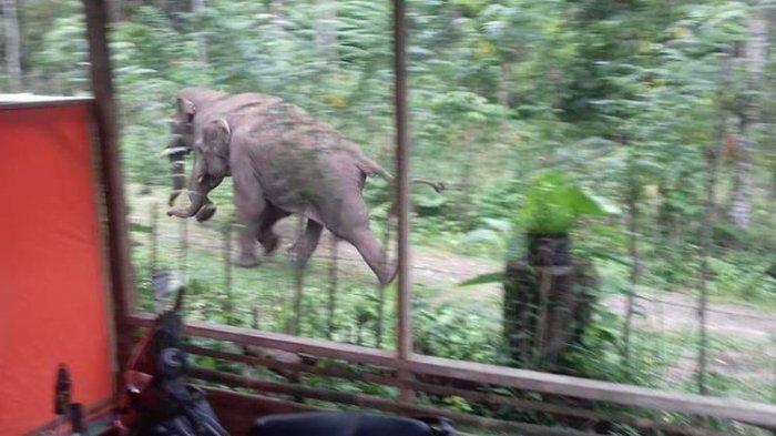 Tiga Gajah Masuk Permukiman, Warga Ketakutan Sampai Melarang Anak-anak Sekolah dan Ngaji